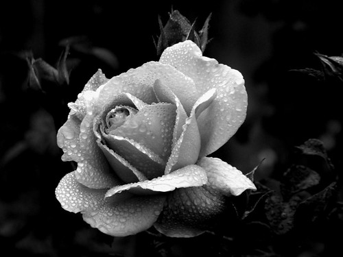 Black And White Rose Photography^@