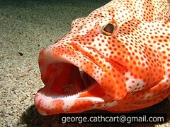 grouper (fins'n'feathers) Tags: red fish mouth underwater open teeth hind grouper