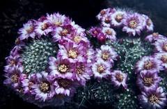 Mammillaria zeilmanniana f. cristata Dettingen 1988 (Martin Theodor) Tags: mammillaria zeilmanniana f cristata