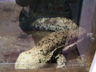 salamandre geante du japon (3)