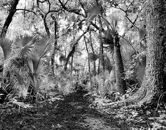 A typical Florida Landscape in Black and White. (Samuel Santiago) Tags: wedding blackandwhite digital landscape florida palmettos canonef1740mmf4l naturerail canon5dmkii