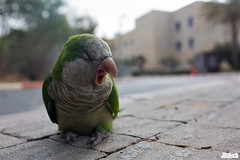 victim of holiday hangover - Monk parakeet, Mnchsittich, Myiopsitta monachus @ Tel-Aviv, Israel 2015 urban nature (Jan Rillich) Tags: urban sun holiday bird nature beautiful beauty animal fauna digital photography eos israel photo telaviv flora foto fotografie angle image jan wildlife wide yawn picture streetphotography free parrot sunny wideangle hangover urbannature rosh gape hashanah ghnen animalphotography monkparakeet roshhashanah myiopsittamonachus 15915 holidayhangover mnchsittich cityparrot 150915 janrillich rillich 15092015