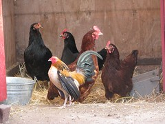 Rooster and his chickens (cl_burgess) Tags: red black chicken island farm rooster homestead shelter rhode hen adopt barnyard bantam australorp