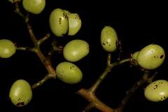 Rhodosphaera rhodanthema (andreas lambrianides) Tags: australianflora anacardiaceae australiannativeplants arfp australianrainforests australianrainforestplants tulipsatinwood rhodosphaerarhodanthema nswrfp qrfp arffs deepyellowwood australianrainforestfruits australianrainforestseeds greenarffs australianrainforestfruitsandseeds