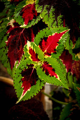 Coleus (http://fineartamerica.com/profiles/robert-bales.ht) Tags: pink red plants plant flower color green nature floral beautiful closeup garden botanical leaf flora colorful houseplant blossom vibrant decorative painted violet lila foliage attractive vegetation bloom variegated colourful multicolored botany ornamental planter nettle horticulture coleus blooming plectranthus lamiaceae cultivated selectman cultivar flamboyance scutellarioides robertbales scurellarioides blossomingexterior
