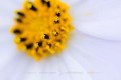 Count the stars (zwei_kilo_gramm) Tags: autumn flower nature japan sapporo nikon hokkaido bokeh 北海道 日本 nikkor 花 秋 cosmos マクロ 札幌 9月 コスモス d7100 花・草木 そこらへん