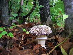 Pantherina (R_Ivanova) Tags: autumn macro nature mushroom colors forest fungi poisonous pantherina природа гъби rivanova риванова