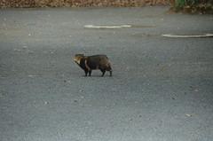 DSC_1503 (My many travels) Tags: japan tokyo shrine shibuya tanuki   raccoon  shinto meiji jingu