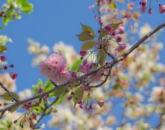 Spring blossom (kud4ipad) Tags: 2015 киев ботаническийсад весна цветы kiev botanic garden blossom tree flower spring sky pinnaclephotography