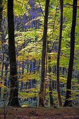 Nella faggeta del Monte Fogliano (giorgiorodano46) Tags: november beech bosco faggio faggi faggeta fogliesecche monticimini montefogliano nikonclubit novembre2015 giorgiorodano
