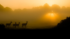 Richmond Park London (iesphotography) Tags: park uk wild tree london nature beauty animal fauna sunrise canon amazing cool stag background wildlife richmond deer stunning reddeer richmondpark outstanding rut naturephotography rutting mistymorning wildlifephotography ukweather ukwildlife 1dx natureimage canon1dx