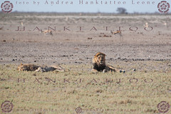 NAMIBIA 2015 @ 02 - 5771 (hanktattoo) Tags: africa park wild moon nature animal animals rock landscape bush sand paint desert leo harbour african wildlife lion mother sandwich national valley tropic dust namibia paesaggio etosha solitaire capricorn engravings sossusvlei panthera 2015 albedo damaraland allaperto twfelfontein