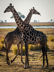 Crossing Giraffes (Erik Pronske) Tags: africa animal nationalpark rail giraffe botswana kasane choberiver chobenationalpark