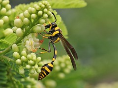 Yellow and Black Potter Wasp (SivamDesign) Tags: fauna canon insect eos rebel kiss wasp 300mm tele x4 extensiontube potterwasp 550d ef12ii canonef300mmf4lisusm t2i yellowandblackpotterwasp phimenesflavopictum phimenesflavopictumcontinentale