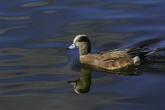 American Wigeon At Santee Lakes (Bill Gracey) Tags: color reflection bird nature colorful avian americanwigeon anasamericana baldpate santeelakes migratorybird dabblingduck