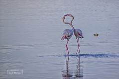 Make love, not war! (iosif.michael) Tags: sony a55 flamingos salt lake cyprus animals birds love fight