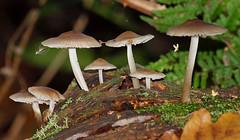 2016_11_0350 (petermit2) Tags: mushroom fungus fungi toadstool pottericcarr potteric doncaster southyorkshire yorkshirewildlifetrust wildlifetrust ywt autumn