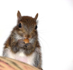 Hammy 4 (TheEclecticArtisan) Tags: squirrel babysquirrel hammy rodent pet rescue cute furry babyanimal animal wildlife wild animalsquirrel