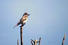 El Pibi (Roberto Segura) Tags: pibi tropical pewee contopus cinereus bird birding birdwatching birds ave aves pjaro pajaro pentax ks2 costarica