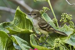 Caribbean Elaenia (ronmcmanus1) Tags: antigua bird nature outdoors wildlife jollyharbour stmarysparish antiguabarbuda