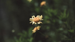 Estoy solo, respondió el eco (~ Reinaba en el ambiente la Locura ~) Tags: canon 6d sigma 2470 flower nature bokeh summer 169