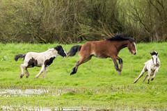 Horses at Longham Lakes (Linda Martin Photography) Tags: dorset gallop nature pony foal longhamlakes canon5dmarklll uk horse