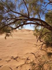 Les dunes sous les tamaris (Des Goûts et des Couleurs) Tags: erg végétation tamaris arbres maroc sahara morocco desert mhamid orange bleu blue ciel dune dunes liberté calme silence isolement dromadaires caravanes bédouins aventure