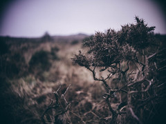 Of Gorse (i-r-paulus) Tags: gorse dartmoor winter moorland moor heath grasslands tvlens cosmicartelevisionlens
