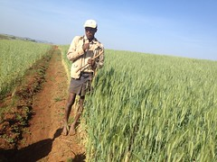 Farmer between wheat plot with ISFM Treatment (right) and Farmers Practice (left) (isfm ethiopia) Tags: 2016 amhara wheat improved agronomy field demonstration