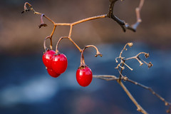 Winter Berries (Ravi_Shah) Tags: berries a7ii sony cy365 winter potd nature