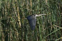 Aninga africana, Anhinga rufa, African Darter (paolo.gislimberti) Tags: ethiopia etiopia animals animali uccelli birds uccelliinvolo birdsinflight