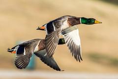 I See You (gilamonster8) Tags: bird bokeh beyondbokeh blue bill beak lake flight arizona park duck desert green water waterbird wing waterbirds ngc