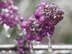 Purple berries (piranhabros) Tags: ice icy frozen icestorm december winter eugene garden purple berries icicle
