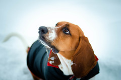 LouBrianWright - More Treats (danielwright88) Tags: basset hound snow canada cute loubrian
