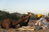 Happy meals (Karunyaraj) Tags: pusharfair pushkar yellow yellowturban desert thardesert dust camelherder camel camelfair2016 camelfair chennaiweekendclickers cwc561 cwc nikond610 d610 nikon24120