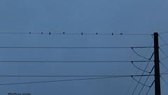 One man gathers what another man spills (Kathryn Louise18) Tags: canon kathrynlouise florida birds powerlines electricalwires roberthunterlyrics gratefuldeadlyrics utilitypole nature