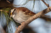 White-throated Sparrow (Katherine Sayn-Wittgenstein) Tags: whitethroated sparrow