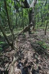 nel bosco, in the wood (paolo.gislimberti) Tags: india karnataka wood bosco alberi trees sottobosco undergrowth radici shallowroots