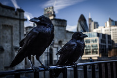 Ravens for the Queen (Nils Reucker) Tags: london ravens united kingdom birds blackbird bird raven crow crows tower sightseeing fortress architecture medieval skyscraper creepy eerie six feet under death guardian beefeater queen thames england