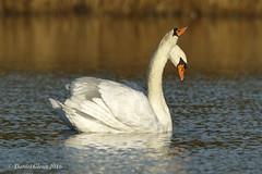 A rare Two-headed Mute Swan shows it's displeasure (danielusescanon) Tags: twoheaded muteswan cygnusolor anseriformes anatidae wild swimming birdperfect