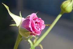 Pink Rose Blooming (LisaLawlor7) Tags: rose pinkrose pink pinkflower rosebush rosebud flowers flower