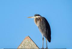 Great Blue Heron_5993 (UniversalShooter) Tags: bird great blue heron wildlife water bay nature