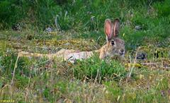 20150705_18 Krappy photo of European rabbit (Oryctolagus cuniculus) chillin | Holmhällar, Gotland, Sweden (ratexla) Tags: ratexla'sgotlandtrip2015 nonhumananimal gotland 5jul2015 2015 canonpowershotsx50hs holmhällar sweden sverige scandinavia scandinavian europe beautiful earth tellus photophotospicturepicturesimageimagesfotofotonbildbilder europaeuropean summer travel travelling traveling norden nordiccountries roadtrip journey vacation holiday semester resaresor nature rabbit rabbits oryctolaguscuniculus wild vild vilda wildlife vildkanin vildkaniner kanin kaniner djur nonhumananimals animal animals cute cool organism life biology zoology ontheroad sommar relax relaxing chillax chillaxing chilling chill favorite