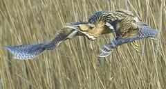 Bittern (charlie.syme) Tags: bittern bird flight gosforth park nikon northumberland wings wildlife