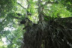 Strangler Fig (Ficus watkinsiana) (Poytr) Tags: stranglerfig ficus ficuswatkinsiana moraceae worldheritagesite washpoolnationalpark subtropicalarf subtropicalrainforest arfp nswrfp qrfp aerialroot aerialroots gianttree