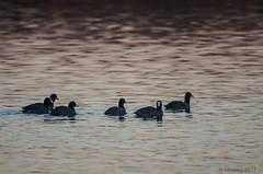 En groupe... (fabakira) Tags: fabakira fabakiraphotography fabakiraphotography2017 nikon d7000 nikkor200500 foulque foulquemacroule oiseau nature faune regard lac lacdauron bourges bokeh couleur
