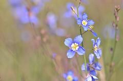 heliophila (snowshoe hare*) Tags: dsc0032 heliophila flowers botanicalgarden ヘリオフィラ 海の中道海浜公園