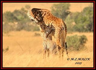 MASAI GIRAFFES (Giraffa camelopardalis tippelskirchii)...MASAI MARA......SEPT 2015