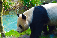 edinburgh zoo part 1-91 (Claire Quinn) Tags: edinburghzoo