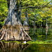 Cypress Tree and Water Lillies